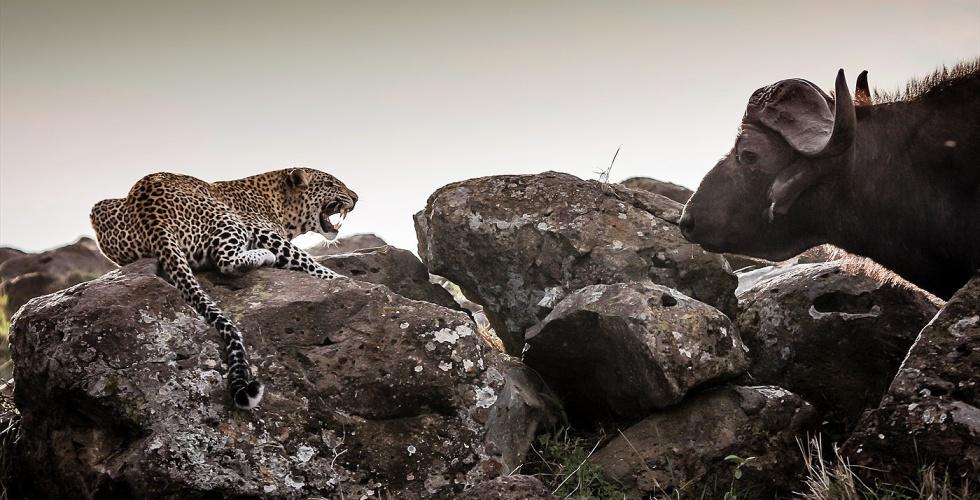 Alex Walker's Serian_Masai Mara_Serengeti Leopard