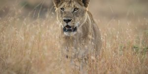 My Life in the Mara: A Day with the Offbeat Lion Pride