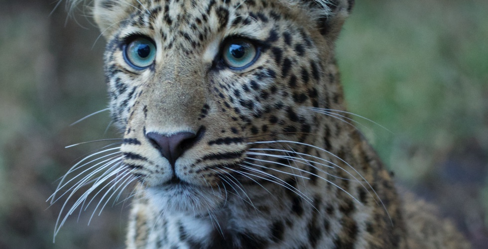 Leopard blue eyes