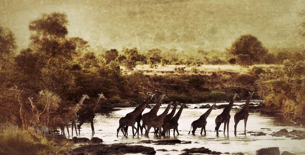 Alex Walker's Serian_Masai Mara_Serengeti Giraffe